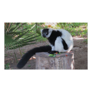 Black and White Ruffed Lemur Eating Poster