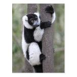 Black and White Ruffed Lemur on Tree Postcard