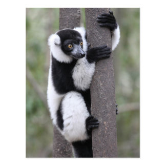 Black and White Ruffed Lemur on Tree Post Cards