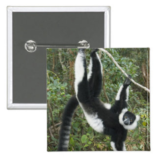 Black and White Ruffed Lemur, (Varecia Button