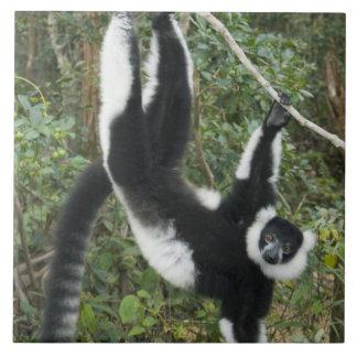 Black and White Ruffed Lemur, (Varecia Tiles
