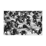 Black and white sheeps field canvas print