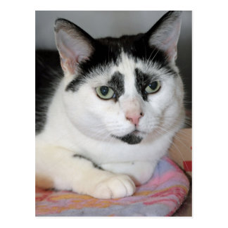 Black and White Shorthair American Cat Postcards