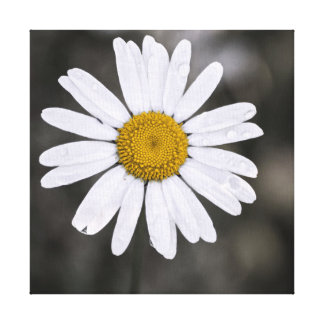 Black and White Single Wet Daisy Yellow Centre Canvas Print