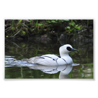 Black and White Smew or Sea Diving Duck Waterfowl Photo Print