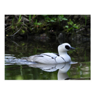 Black and White Smew or Sea Diving Duck Waterfowl Postcard