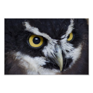Black and White Spectacled Owl Poster