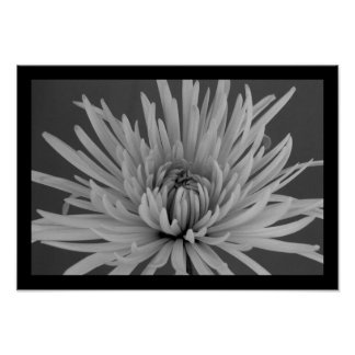 Black and White Spider Mum Posters