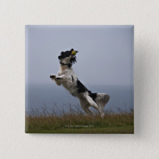 black and white Springer Spaniel playing with Button