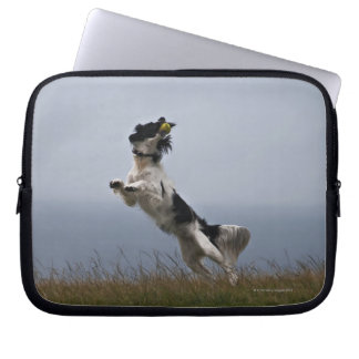 black and white Springer Spaniel playing with Computer Sleeve