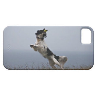 black and white Springer Spaniel playing with iPhone SE/5/5s Case