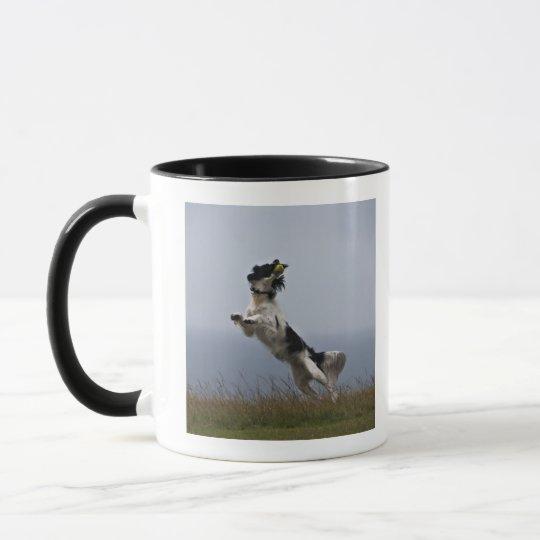 black and white Springer Spaniel playing with Mug