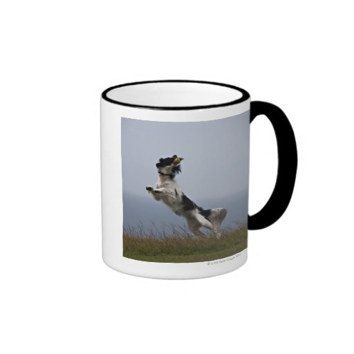 black and white Springer Spaniel playing with Mugs