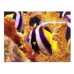 Black and White Striped Angelfish Postcard