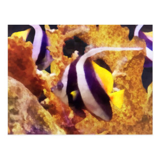 Black and White Striped Angelfish Post Cards