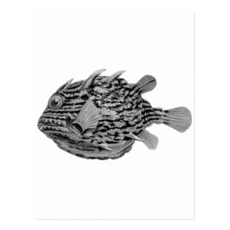 Black and White Striped Cowfish Postcard