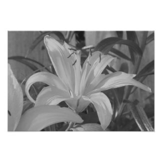Black and White Tiger Lily Print