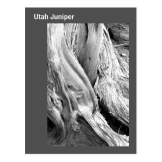 Black and White Tree Trunk Postcard