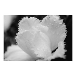Black and White Tulip Photo Print