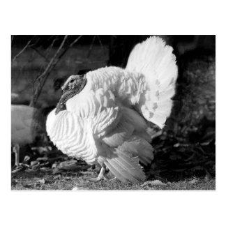 Black and White Turkey Postcards