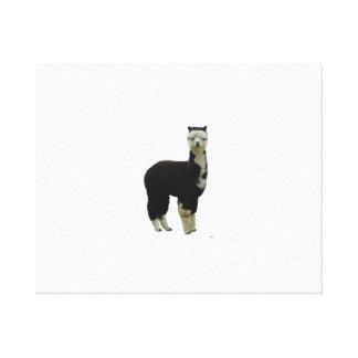 Black and White Tuxedo Alpaca Canvas Print