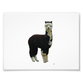 Black and White Tuxedo Alpaca Photo Print