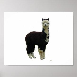 Black and White Tuxedo Alpaca Poster