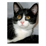 Black and White Tuxedo Shorthair Cat Postcards