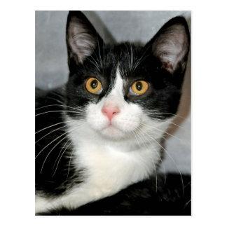 Black and White Tuxedo Shorthair Cat Postcards