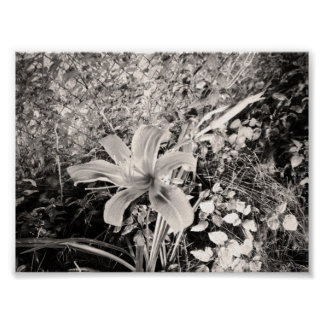 Black And White Vintage Tiger Lily Poster