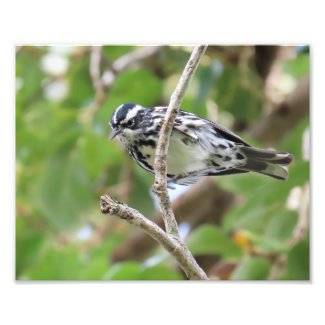 Black and White Warbler Photo Print