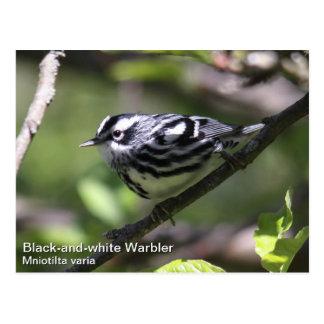 Black-and-white Warbler Postcard