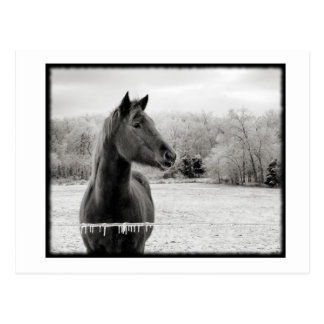 Black and White Winter Horse Postcard
