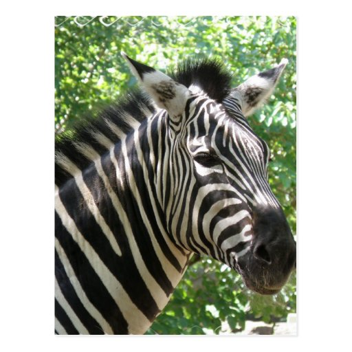 Black and White Zebra Postcard