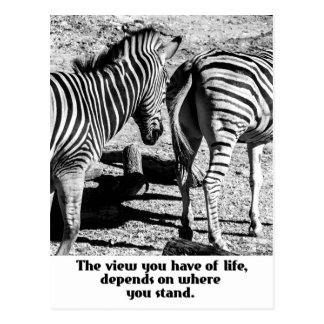 Black and White Zebras Postcard