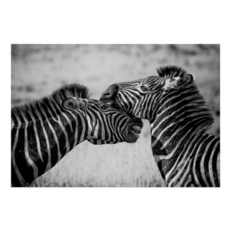 Black and White Zebras Poster