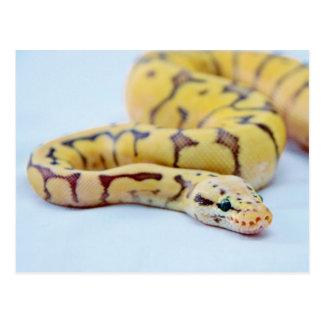 Black and Yellow Ball Python 2 Post Cards