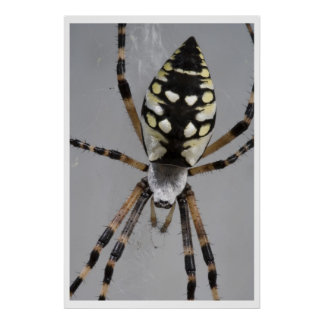 Black and Yellow Garden Spider Poster