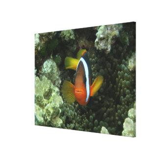 Black Anemonefish (Amphiprion melanopus) in Canvas Print