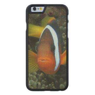 Black Anemonefish (Amphiprion melanopus) in Carved Maple iPhone 6 Slim Case