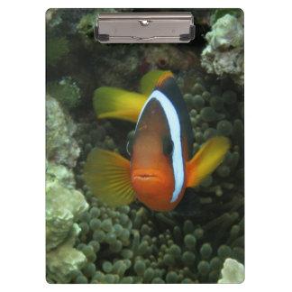 Black Anemonefish (Amphiprion melanopus) in Clipboard