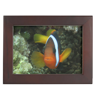Black Anemonefish (Amphiprion melanopus) in Memory Boxes