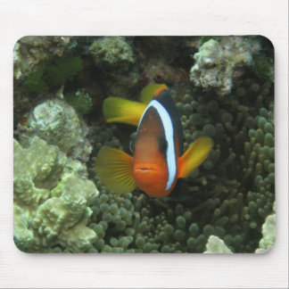 Black Anemonefish (Amphiprion melanopus) in Mouse Pad