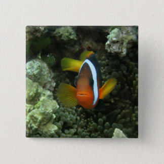 Black Anemonefish (Amphiprion melanopus) in Pinback Button