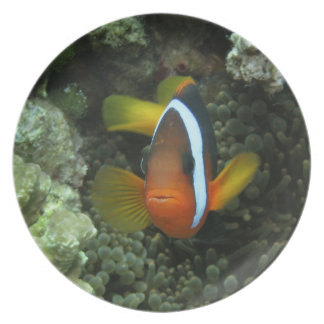 Black Anemonefish (Amphiprion melanopus) in Plates
