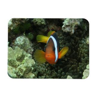 Black Anemonefish (Amphiprion melanopus) in Rectangular Photo Magnet