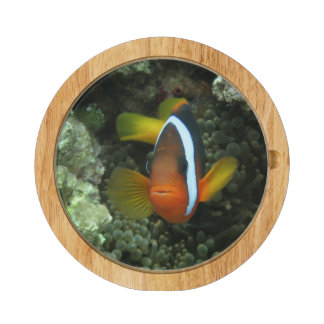 Black Anemonefish (Amphiprion melanopus) in Round Cheeseboard