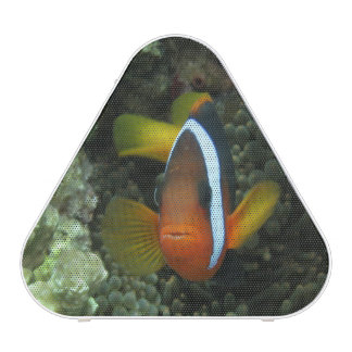 Black Anemonefish (Amphiprion melanopus) in Speaker