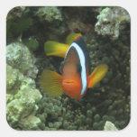 Black Anemonefish (Amphiprion melanopus) in Square Sticker