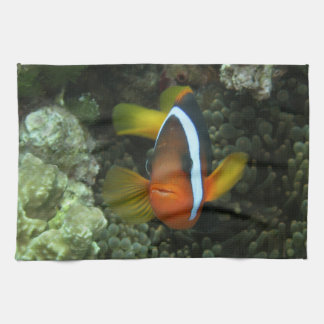 Black Anemonefish (Amphiprion melanopus) in Towels